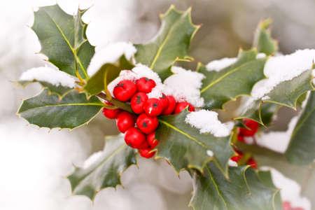 Close up od ein Zweig der Stechpalme mit roten Beeren mit Schnee bedeckt