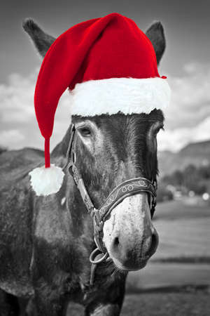 donkey: Red Christmas hat on a black and white donkey, fun xmas greeting card