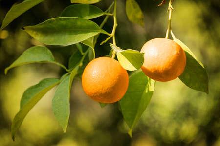 naranja arbol: árbol de naranja de cerca