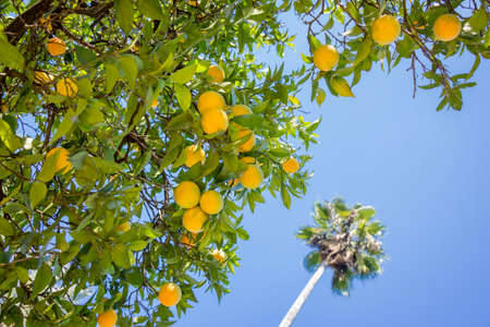naranjo arbol: Orange tree, blue sky and palm tree background