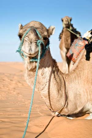 desert sand: Camel in the Sand dunes desert of Sahara, South Tunisia Stock Photo