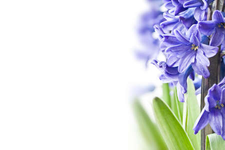 copyspace: Blue hyacinth on white background with copyspace Stock Photo