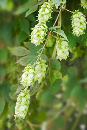 humulus: Close up of hop (humulus lupulus), cultivated to make beer
