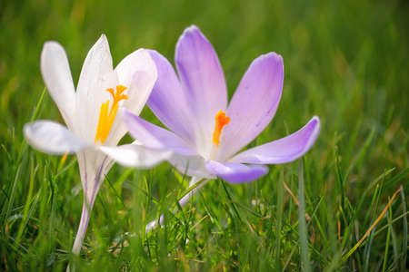 close up: Close up of blue and white crocus flowers in the grass Stock Photo