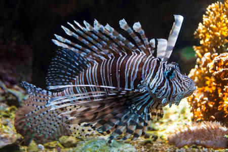 pterois: Red lionfish (Pterois volitans) underwater close up