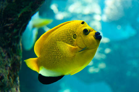 angelfish: Threespot angelfish (Apolemichthys trimaculatus), close-up under water Stock Photo