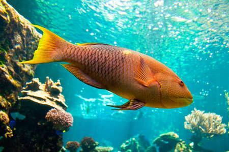 parrotfish: Yellow parrotfish (Scaridae) underwater close-up