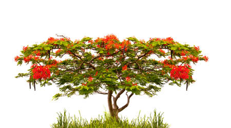 flamboyant: Flame tree of Flamboyant (delonix regia) isolated on white background