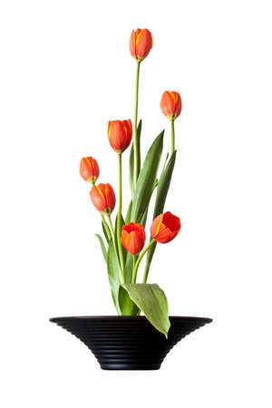 asian tulips: Tulips ikebana, japanese flower arrangement isolated on white background