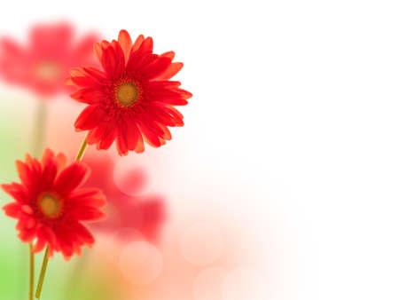 flores de gerbera roja sobre fondo blanco