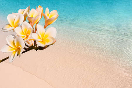 frangipani: Branch of frangipani flowers (plumeria) close-up, tropical beach background