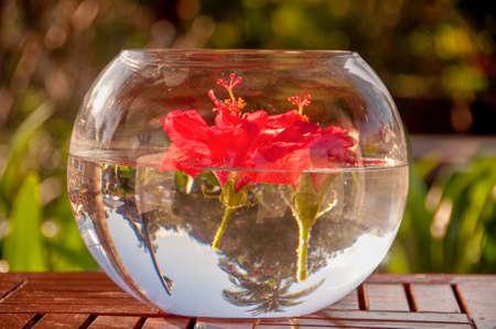 arreglo floral: flor de hibisco rojo flotando en el agua Foto de archivo
