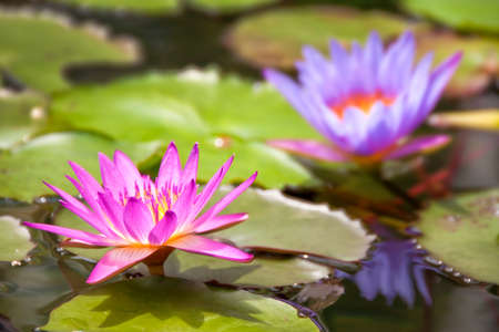 waterlily: Purple waterlily in a pond
