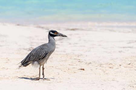 birdwatcher: Yellow crowned night heron, Cuba