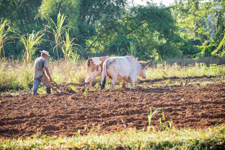 plough: ViNALES, CUBA - APRIL 23: Man working in his field with an ox plough, on April 23 2016 in Vinales Editorial