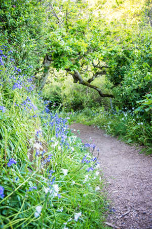 Bluebells in spring in the south coast cliff path, Guernsey Stock Photo