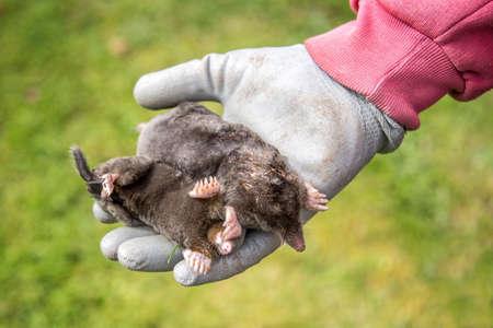 Dead moles in a gloved hand, garden background