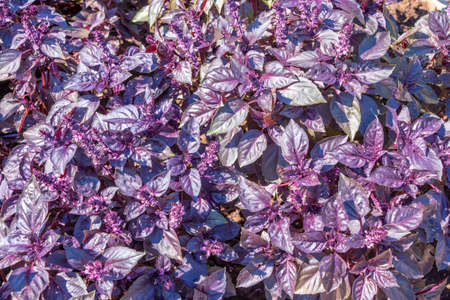 basil: Dark opal purple basil background