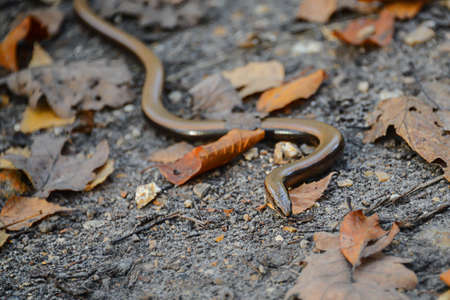 anguis: Close up of Slow Worm (Anguis Fragilis) Stock Photo