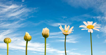 Stages of growth and flowering of a daisy, blue sky background, life concept Banco de Imagens - 72444712