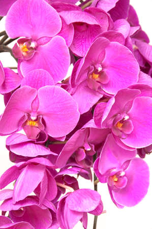 close uo: Pink phalaenopsis orchid flower close up background