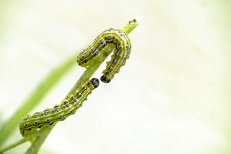 Close up of two green caterpillars on a branch, larva of the box tree moth (Cydalima perspectalis)