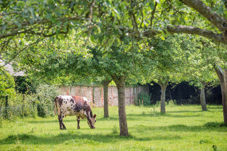 Norman cow grazing on grassy green field with apple trees on a bright sunny day in Normandy, France. Summer countryside landscape and pasture for cows