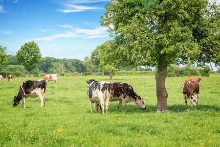 Norman black and white cows grazing on grassy green field with trees on a bright sunny day in Normandy, France. Summer countryside landscape and pasture for cows