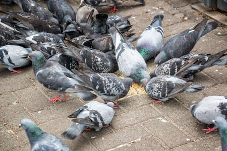 Many pigeons eating food in a street
