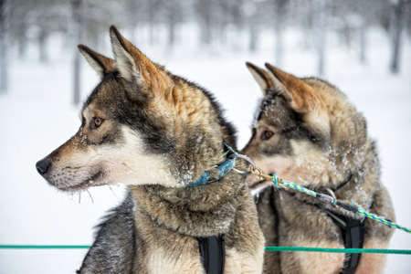Husky dog close-up, Lapland, Finland