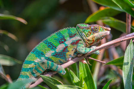 Profile view of a colorful chameleon on a branch Stock Photo