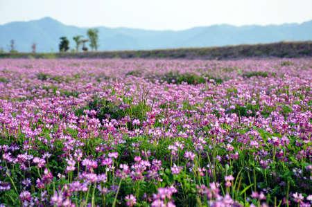 Campo di fiori di erba medica (chiamato anche erba medica)