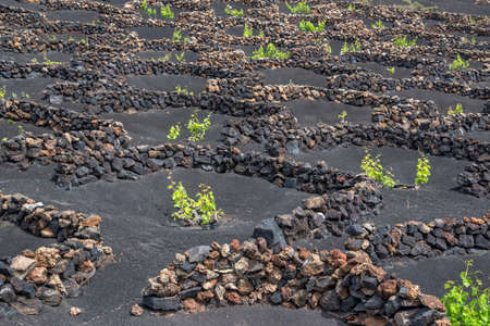 Famous vineyards of La Geria on volcanic soil in Lanzarote, Canary Islands, Spain 免版税图像