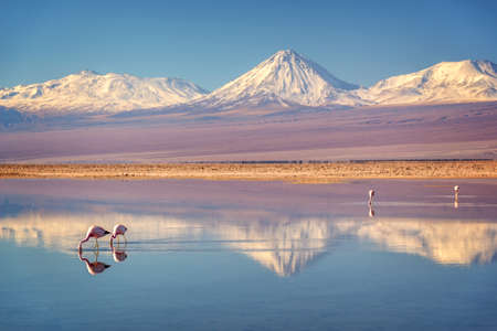 Snowy Licancabur volcano in Andes montains reflecting in the wate of Laguna Chaxa with Andean flamingos, Atacama salar, Chile 写真素材