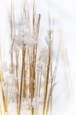 Detail of snowflakes on weed. Nature in winter, macrophotography.