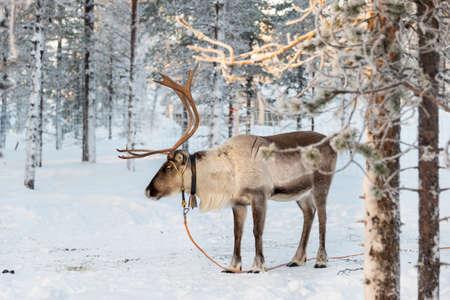 Reindeer in winter, Lapland, Finland