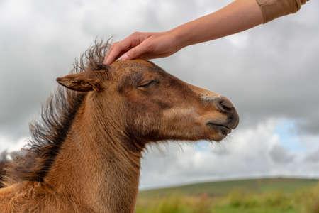 Hand of a boy petting the head of a Dartmoor pony foal, Devon UK Stock Photo