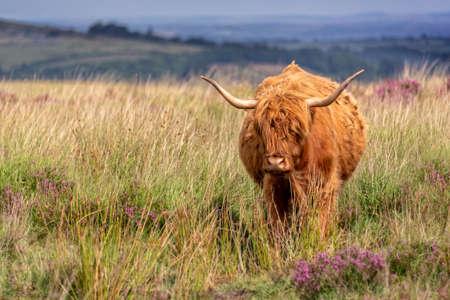 Highland cow in Dartmoor, Devon, UK