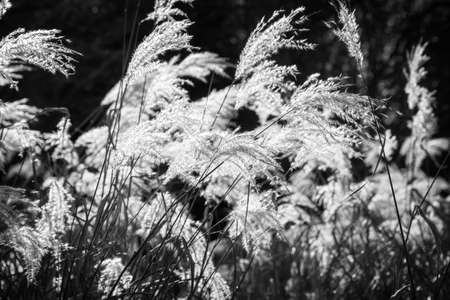 Weed grasses in the sun, black and white photography