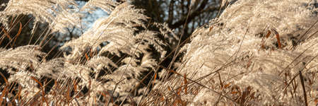 Panorama of weed grasses in the sun