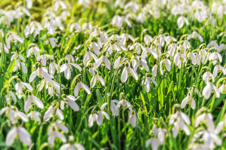 Snowdrop flowers (Galanthus nivalis) in the grass at the beginning of spring Stock Photo