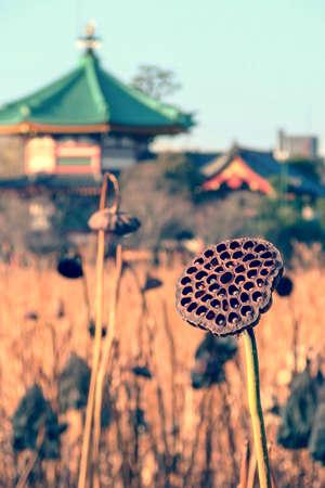 Dried lotus flower at Shinobazu lake in winter, Tokyo, Japan