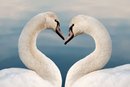 Close up of two swans in the shape of a heart. Love concept, valentine greeting card.
