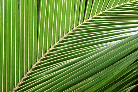 Close up of a palm tree leaf, nature abstract background