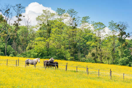 Percherons horses in a field of yellow wildflowers in Perche province, France