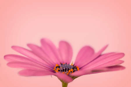 Side view of a pink african daisy (osteopermum), peach background Stock Photo