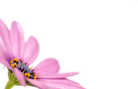 Side view of a pink african daisy (osteopermum), isolated on white background