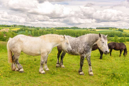 Close up of two white and dappled french percherons horses, Perche province, France