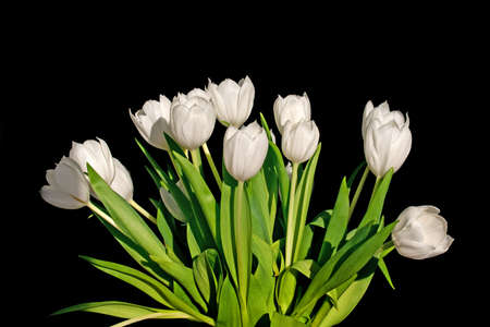 Bunch of white tulips isolated on black background