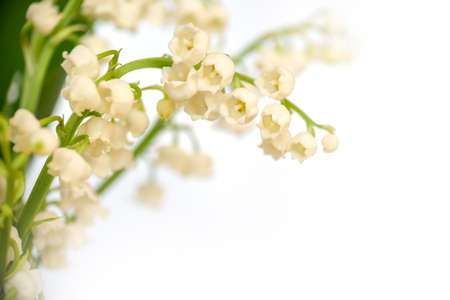 Lily of the valley flower blossoms, isolated on white background. May 1st, Labor Day symbol